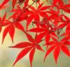 京都の禅寺で紅葉企画開催「かしきりもみじ」